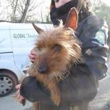 Abandoned in Paris, 21 yorkshires and cairns terriers ready for adoption in a Calvados refuge